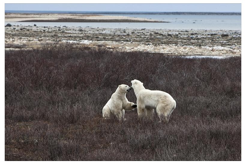北极熊是水陆两栖动物