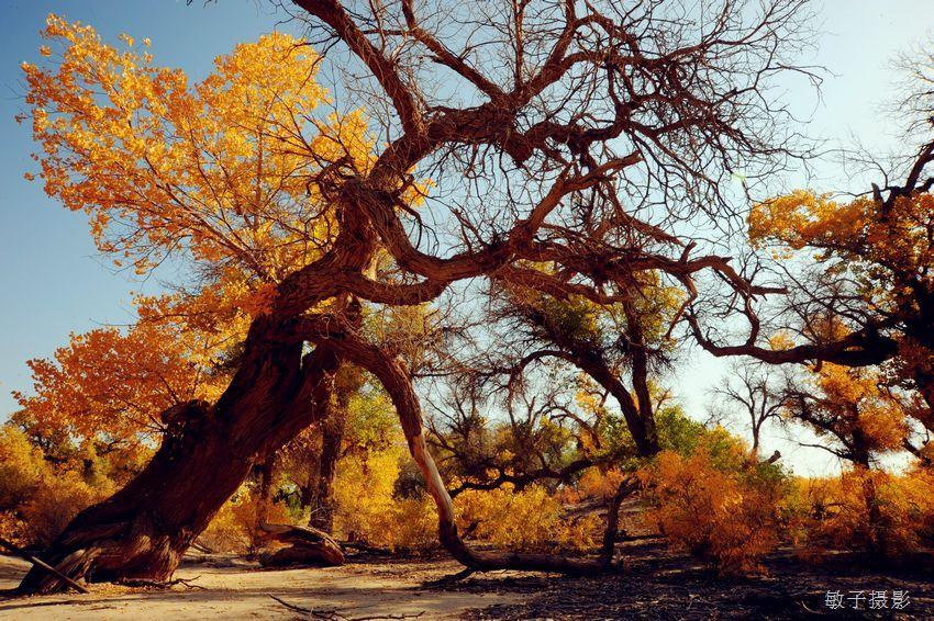胡杨树皮灰褐色,呈不规则纵裂沟纹,粗裂如沟壑.