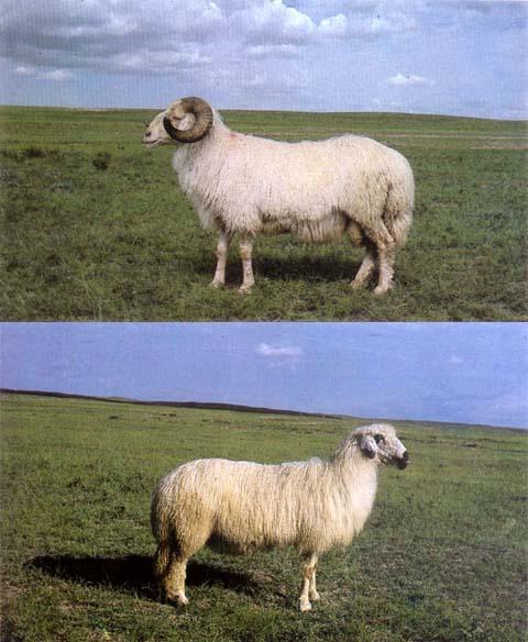 滩羊---晃晃我的犄角-动物的心我懂-搜狐博客