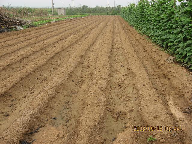 草莓定植前后的管理