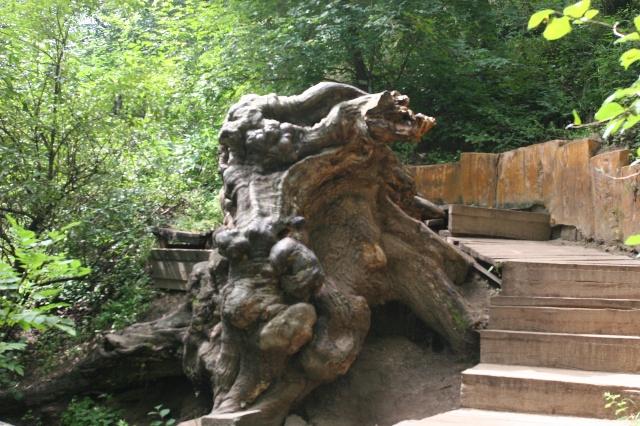 沟底老树根,据说有根雕厂家出巨资都未购到.