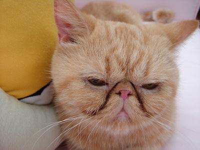 由于加菲猫的生理结构和土猫不一样,眼中老是有眼屎,而且眼睛眯眯的