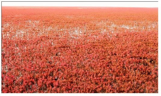 葫芦岛的红海滩(续)