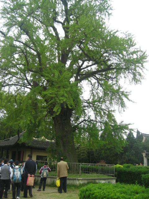 百年枸杞树下,正好赶上一群小学生也到那儿去春游