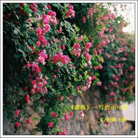 人和花的-(一)   蔷薇--写给小可爱