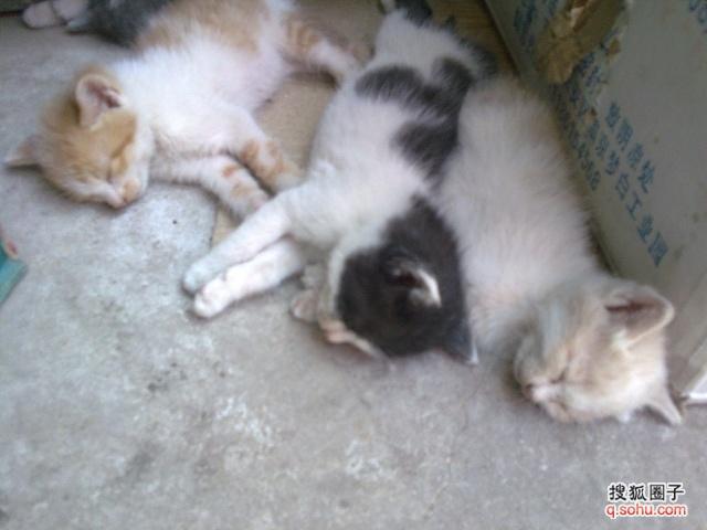 可爱小猫咪收养 - 家有爱宠