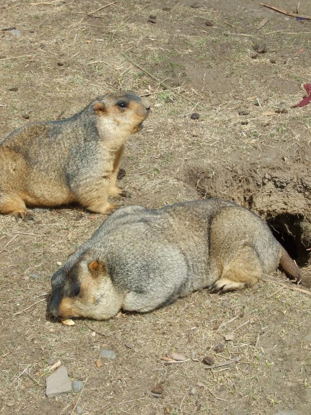 冬眠性野生动物