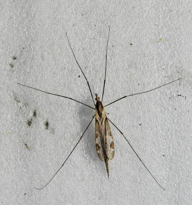 蚊子嘴巴结构图