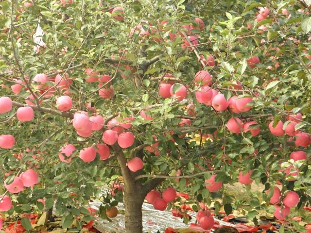 丰收苹果树