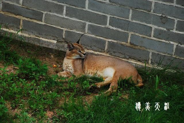 [原创]全国第一家村办野生动物园;; 狞猫很挑食,且会抛弃捕抓到的哺乳