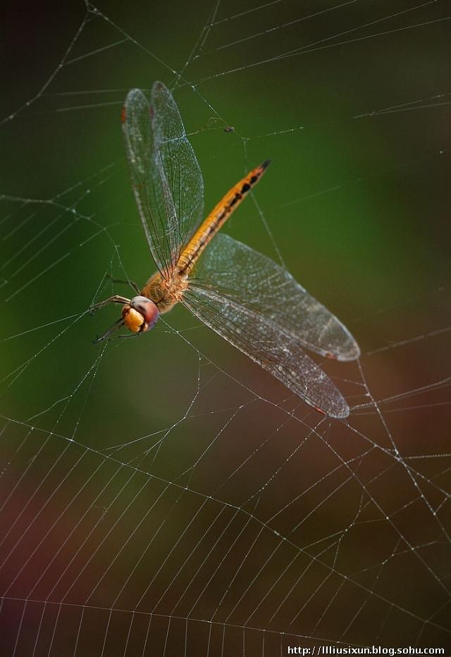 蜻蜓姬的大�_豆娘与蜻蜓之主要差别