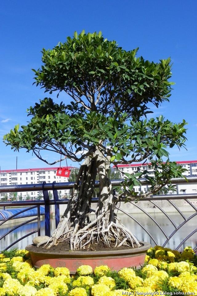 以观赏榕树的树桩及根茎叶奇异形态为目的,通过修剪,整枝,吊扎,嫁接