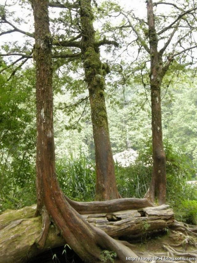 槠木,榉木等亚热带阔叶树,再到茂密的红桧,扁柏,亚极和姬松等温带针叶